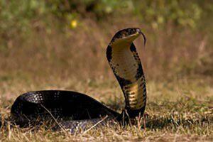 L'effetto di Cobra